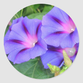 A Group of Beautiful Morning Glories Stickers