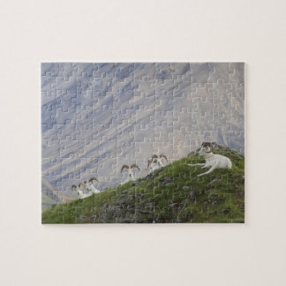 A group of Dall sheep rams rest on Marmot Rock 2 Jigsaw Puzzle