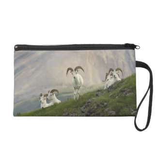 A group of Dall sheep rams rest on Marmot Rock Wristlet Clutch