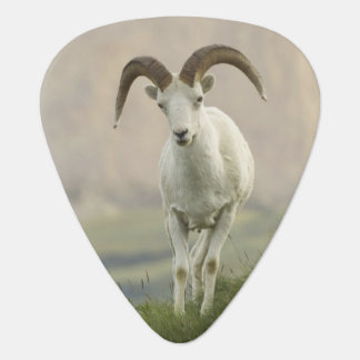 A group of Dall sheep rams rest on Marmot Rock Guitar Pick