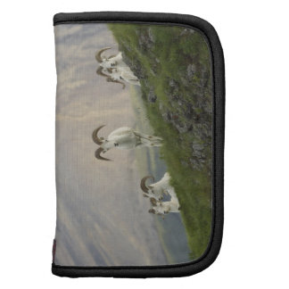 A group of Dall sheep rams rest on Marmot Rock Folio Planner