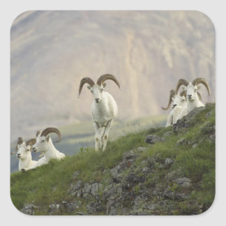 A group of Dall sheep rams rest on Marmot Rock Square Sticker