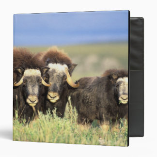 A group of muskoxen browse on willow shrubs on binder