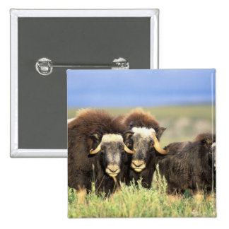 A group of muskoxen browse on willow shrubs on pinback buttons