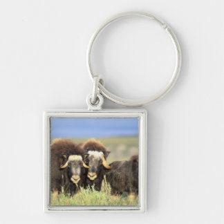 A group of muskoxen browse on willow shrubs on keychain