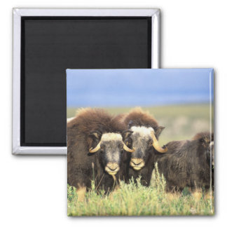 A group of muskoxen browse on willow shrubs on magnet
