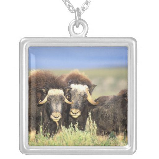 A group of muskoxen browse on willow shrubs on necklaces