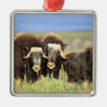 A group of muskoxen browse on willow shrubs on christmas ornaments