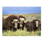 A group of muskoxen browse on willow shrubs on post cards
