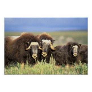 A group of muskoxen browse on willow shrubs on poster