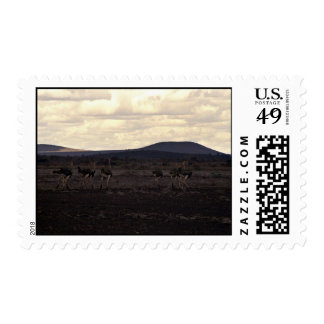 A group of ostriches postage stamps