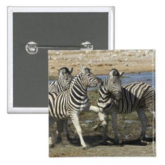 A group of Plains Zebra (Equus qagga) greet each 2 Inch Square Button