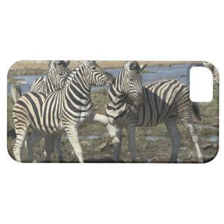 A group of Plains Zebra (Equus qagga) greet each iPhone 5 Case