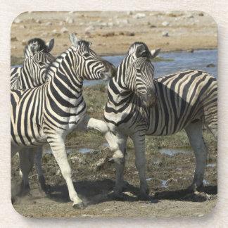A group of Plains Zebra (Equus qagga) greet each Coasters