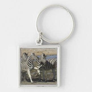 A group of Plains Zebra (Equus qagga) greet each Silver-Colored Square Keychain