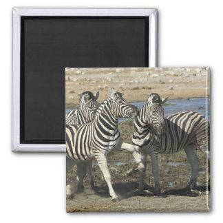 A group of Plains Zebra (Equus qagga) greet each 2 Inch Square Magnet