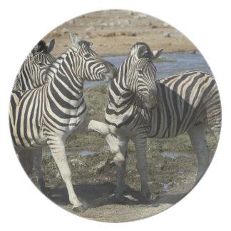 A group of Plains Zebra (Equus qagga) greet each Dinner Plate