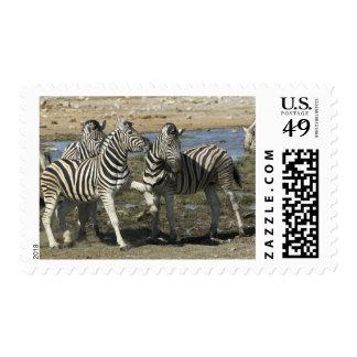 A group of Plains Zebra (Equus qagga) greet each Postage Stamp
