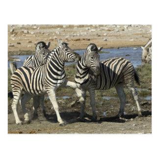 A group of Plains Zebra (Equus qagga) greet each Postcard
