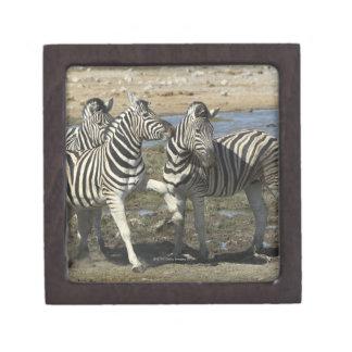 A group of Plains Zebra (Equus qagga) greet each Premium Trinket Box