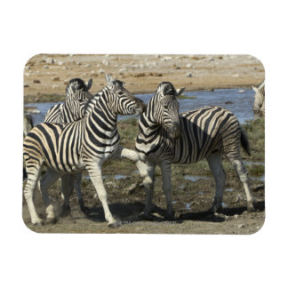 A group of Plains Zebra (Equus qagga) greet each Rectangular Photo Magnet