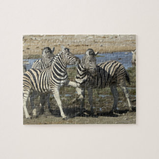 A group of Plains Zebra (Equus qagga) greet each Puzzle