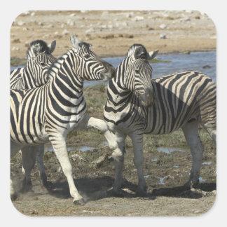 A group of Plains Zebra (Equus qagga) greet each Square Sticker