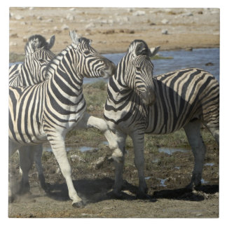 A group of Plains Zebra (Equus qagga) greet each Large Square Tile