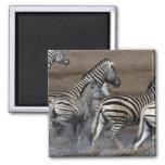 A group of Planes Zebra (Equus quagga) at a Fridge Magnets