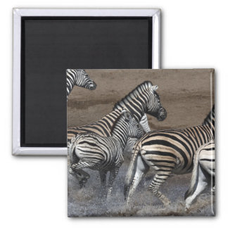 A group of Planes Zebra (Equus quagga) at a Magnet
