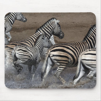 A group of Planes Zebra (Equus quagga) at a Mouse Pad