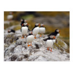 A Group of Puffins Postcards