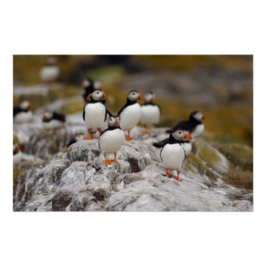 A Group of Puffins Poster
