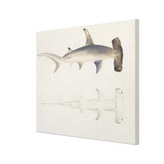 A Hammer-headed Shark, Loheia, formerly attributed Canvas Print