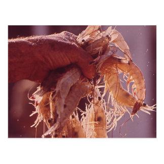 A Handful of Shrimp Postcard