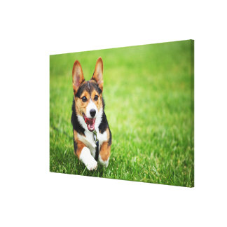 A Happy And Energetic Pembroke Welsh Corgi Puppy Canvas Print