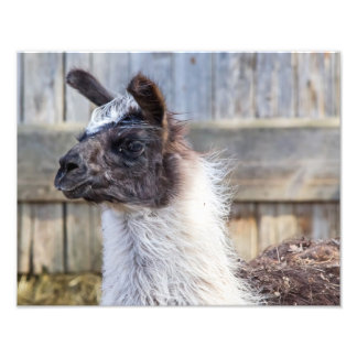 A Happy Llama Photo Print