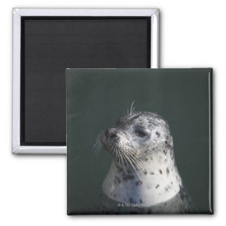 A harbor seal 2 inch square magnet
