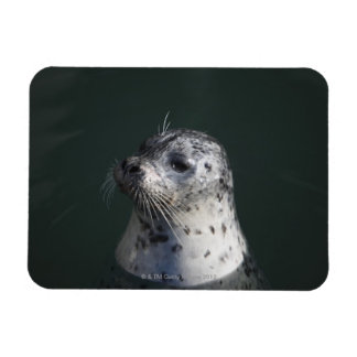 A harbor seal magnet