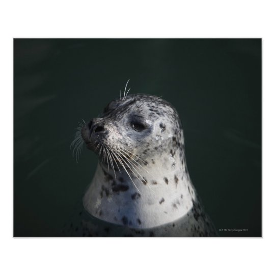A harbor seal poster