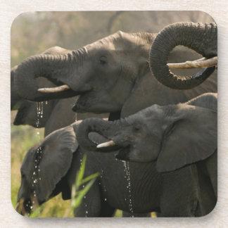 A Herd Of African Elephants (Loxodonta Africana) Beverage Coaster