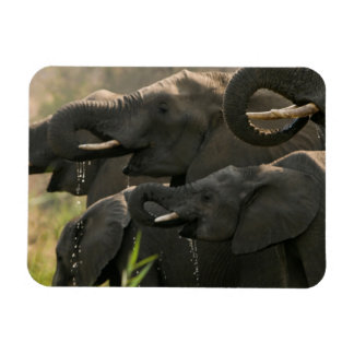 A Herd Of African Elephants (Loxodonta Africana) Magnet