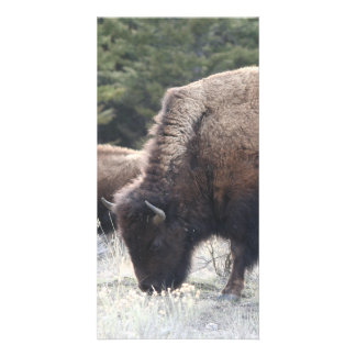 A Herd of Brown Bison Graze in a grassy Meadow Card
