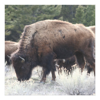 A Herd of Brown Bison Graze in a grassy Meadow Art Photo