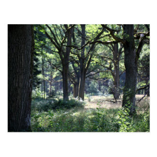 A historical wood pasture with oak trees. postcard