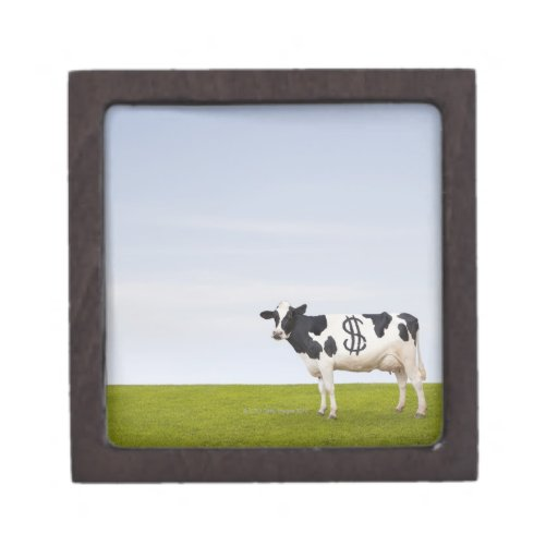 A Holstein Dairy cow with spots in the shape of Jewelry Box