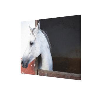 A Horse (Equidae) Canvas Print