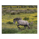 A horse running in a field of yellow wildflowers posters