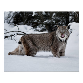 A Hungry Canadian Lynx in the Snow Posters