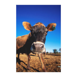 A Jersey cow being inquisitive Canvas Print